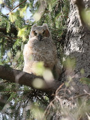 baby owl looking down (chiptape) Tags: old brown tree bird eye nature up look animal pine night forest fly big high focus soft branch nest fierce wildlife watch attack wing young feather down explore vision raptor apex future owl wise perch environment balance prey immature predator find hoot confident hear hunt deadly skill bubo horned virginianus