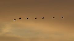 AE9G9708 (onegreatcity55) Tags: canada nature canon wildlife manitoba gimli assiniboinepark oakhammockmarsh lakewinnipeg ftwhyte