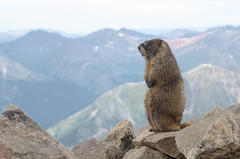 Marmot at the summit of Mt Elbert (Colorado) (borazslo) Tags: mountain mountains rockies colorado hiking rockymountains marmot 14er 14ers marmots mountelbert colorado14ers mtelbert