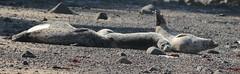Lazy Morning (Brad Rangell) Tags: northerncalifornia outdoors harborseals mossbeach marinemammals fitzgeraldmarinereserve