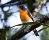 _DSC0565 (Dato' Professor Dr. Jamaludin Mohaiadin) Tags: birds nikon dr hills malaysia fraser prof melayu dato 400mm burung jamaludin mohaiadin d800e