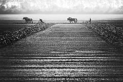 Horses (by Annika) Tags: horses horse landscape zeeland landschap zeeuwse
