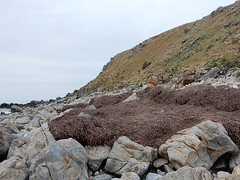 Seaweed on Rocks (mikecogh) Tags: seaweed rocks hill shore slope mypongabeach