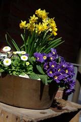 Spring flowers (VI) (dididumm) Tags: flowers white spring purple blumen bowl lila daisy weiss frhling gnseblmchen tausendschn primrose schale primel frhlingsblumen bellisperennis schlsselblume upcycling primulavulgaris burgfrieden masliebchen