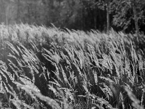 Golden field, B&W