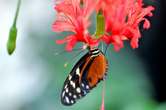 Heliconius sp JVA_0073 (mrjean.eu) Tags: sara sp atlas demi insectes attacus papillons heliconiinae deuil heliconius phaetusa dryatula