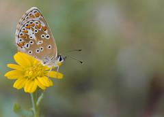 Le collier de corail - Aricia agestis (michel lherm) Tags: papillons lpidoptres ariciaagestis rhopalocres collierdecorail