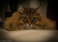 big cat eyes (robinnestridge) Tags: feline kitty beautifulcats
