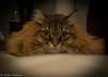 big cat eyes (robinnestridge) Tags: feline kitty beautifulcats