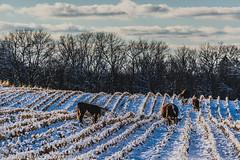 Snow Cattle (Joshua Banks Photography) Tags: wisconsin nikon cattle cows moo baraboo beefcattle saukcounty saukcountywi baraboowi d5200 wisconsinfarms wisconsinbackroads wisconsinphotographers joshuabanks nikond5200 wisconsincattle joshuabanksphotography joshuabanks2015