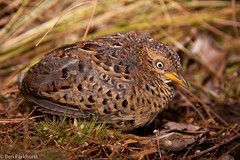 Red-backed Button-quail (Turnix maculosus) (BenParkhurst) Tags: bird australia western wa kimberley buttonquail redbacked turnix maculosus