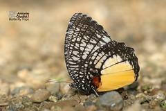 The Jezebel Palmfly - ผีเสื้อหนอนมะพร้าวปีกหลังขาว