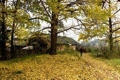 Ginkgo Village (MelindaChan ^..^) Tags: china autumn plant tree fall leaves yellow ginkgo village guilin mel 銀杏 guangxi 桂林 廣西 chanmelmel mleinda melindachan 小平樂 海洋鄉