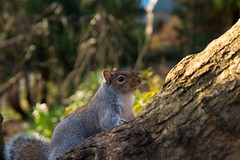 Happy Chappie. (darrensphoto123) Tags: rodent squirel