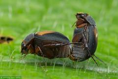 Sericini (Anthony Kei C) Tags: scarabbeetle scarabaeidae melolonthinae sericini