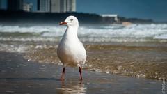 Seagulls (Pursuedbybear) Tags: seagulls sunshinecoast silvergull alexandraheadland chroicocephalusnovaehollandiae
