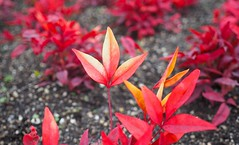 Red in Winter (Jon-F, themachine) Tags: park red plants japan asian asia parks olympus nagoya  nippon japo oriental dslr orient fareast  aichi nihon  omd    chubu japn  2015  m43    landoftherisingsun mirrorless  chuubu   micro43 microfourthirds  xapn jonfu  mirrorlesscamera   em5ii em5markii