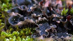 Peltigera species (Eric Hunt.) Tags: green moss lichen bryophyte foliose peltigera peltigeraceae