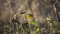 2015-12-13_02-33-18 (wiktor_furmaniak) Tags: autumn light leaves minolta bokeh colorfull sony natureshots 70210mm passionphotography beautyfulnature naturecomposition absolutelyperrrfect alpha65