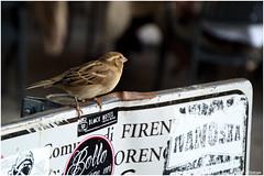 Firenze 2015-71 (dibmax) Tags: uccelli animali