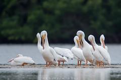 Birds of a feather (Khurram Khan...) Tags: nature ilovenature wildlife pelican naturephotography americanwhitepelican wildlifephotography ilovewildlife iamnikon khurramk khurramkhan