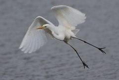 Great White Egret (cooky1959) Tags: worcestershire egrets greatwhiteegret uptonwarren worcestershirewildlifetrust
