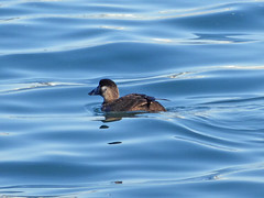 Coronado 12-17-15 (50) (Photo Nut 2011) Tags: california bird duck sandiego coronado ferrylanding