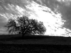 """""""Lone Oak Standing"""" A California Oak Tree against a darkening, cloudy sky in Northern California. Clouds And Sky Clouds Blackandwhite Photography Black & White Blackandwhite Oak Trees Sillouettes Sillouette at The Tree - Lime Ridge (bradhodges09) Tags: blackandwhite clouds blackwhite sillouette oaktrees blackandwhitephotography sillouettes cloudsandsky"""