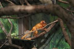 Houston Zoo - Golden Lion Tamarin (SpeedyJR) Tags: animal zoo texas houstontexas houstonzoo goldenliontamarin houstontx tamarins speedyjr 2015janicerodriguez
