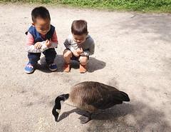 Little Wing's Fan Club (FernShade) Tags: vancouver stanleypark lostlagoon canadagoose brantacanadensis goose children boys littleboysandgoose wildlife avian birds kids kidsandwildlife