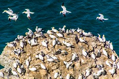 Bempton Cliffs Gannet Colony (safc1965) Tags: bempton cliffs gannets colony flamborough head rspb landscape