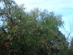 Des perruches dans notre pommier (christopherbrown) Tags: bird oiseau tree arbre pomme apple combslaville seineetmarne france