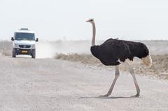 Caution, Birds (C McCann) Tags: bird birds ostrich walkingbird crossingthestreet etosha namibia africa bigbird walking street road truck watchout