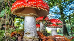 Fly Argaric Mushrooms, Zeist, Netherlands - 0925 (HereIsTom) Tags: webshots travel europe netherlands holland dutch view nederland views you sony cybershot hx9v nature sun tourists cycle vakantie fietsvakantie cycling holiday bike bicycle fietsen leaves fly autumn mushrooms hersft argaric bladeren amanita toadstool muscaria paddenstoelen vliegenzwam fall fungi stippen dots rood red season met fungus witte najaar white