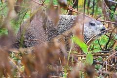 woodchuck at Lake Meyer Park IA 854A7722 (lreis_naturalist) Tags: woodchuck lake meyer park winneshiek county iowa larry reis