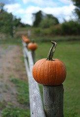 Fence with pumpkins (halifaxlight) Tags: canada novascotia windsor howarddill farm pumpkins fence thanksgiving bokeh