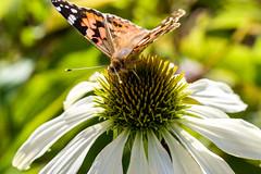 painted lady butterfly (Yunhyok Choi) Tags: echinacea pentax butterfly shutterstock petal pentaxk3 wing macro insect antenna plant herb ìì¸í¹ë³ì ëí민êμ kr adobestock
