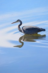 Sunday Afternoon Reflections (Neal D) Tags: bc surrey crescentbeach blackiespit bird heron greatblueheron ardeaherodias reflection water