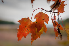 autumn leaves (jimmy_racoon) Tags: 1785mm is 450d fall xsi autumn colors leaves 1785mmis