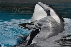 (Megakillerwhales) Tags: megakillerwhales marineland marinelandcanada marinelandontario marinelandfrance loroparque seaworld seaworldsandiego seaworldorlando seaworldsanantonio kiska lolita tillikum freya valentin animal animals orca orcas dolphin dolphins beluga belugas orcawhale orcawhales killerwhale killerwhales belugawhale belugawhales zookeeper shamu shamushow shamurocks shamumiracles shamulightupthenight canada niagarafalls falls 2016 animalcloseups nature world sea ocean planet bbcearth bbcnature nationalgeaographic discoverychannel earth disney disneynature underwater