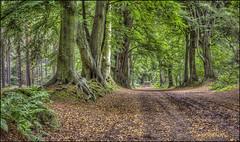 Harlestone Firs 2016 (Darwinsgift) Tags: harlestone firs northampton northamptonshire tree beech avenue voigtlander 58mm f14 nokton sl ii photomatix hdr