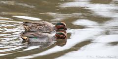 Teal (steven waddingham) Tags: bird wild british nature rspb song