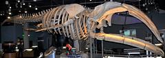 Eubalaena glacialis (North Atlantic right whale) 14 (James St. John) Tags: eubalaena glacialis north atlantic right northern whale whales mysticeti mysticete mysticetes cetacea mammal mammals skeletons cetacean cetaceans skeleton