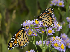 Monarchs (Danaus plexippus) (AllHarts) Tags: femalemonarchdanausplexippus bernheimforest bullittcountyky shepherdsvilleky naturescarousel ngc npc butterflygallery challengeclubchampions