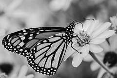 Less Yellow (brev99) Tags: butterfly gilcreasemuseum tamron180f35 d7100 flowers blackandwhite dxofilmpack5 silvermax highqualityanimals ngc topazdetail