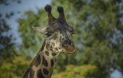 Giraffe face (pelpis) Tags: giraffe animal animalportrait porto portrait animalworld animalscene animals wild wildelife wildanimal scene naturescene nature flickr flickranimals