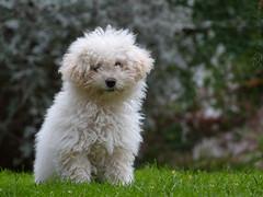 pepita (marianodearriba) Tags: marianodearriba mascotas pepi caniche blanca simpatica