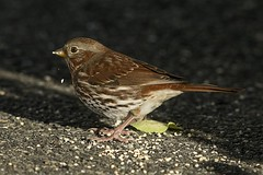 Bruant fauve 17T4387 (Ren Pelletier) Tags: bruant fauve fox sparrow passerella iliaca