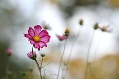 Cosmos (Mah Nava) Tags: cosmos kosmos cosmea kosmee pink blume flower