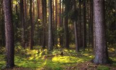 Forest (dannicamra) Tags: nikon d5100 germany bavaria bayern regenstauf forest landscape tree wald landschaft baum grn green
